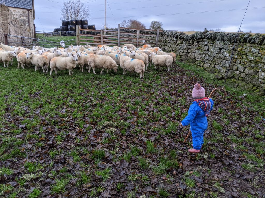 A small child with a sheperds stick walking towards sheep