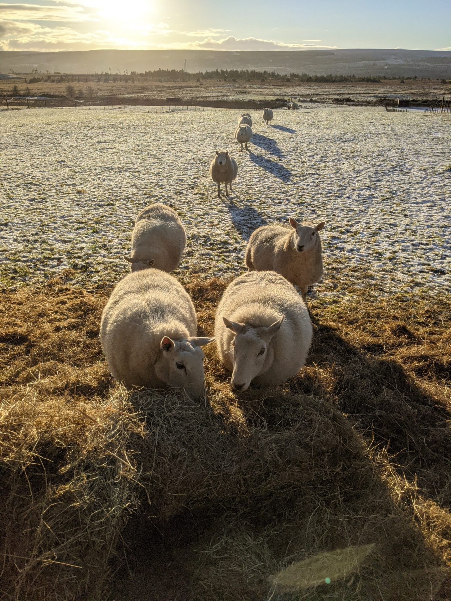 sheep walking through the snow and eating